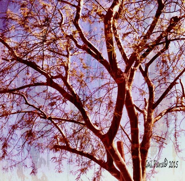 Palo Verde Tree. Digital Expression, Photo Art From My Point Of View Tree, Nature Desert Tree Blended Images,