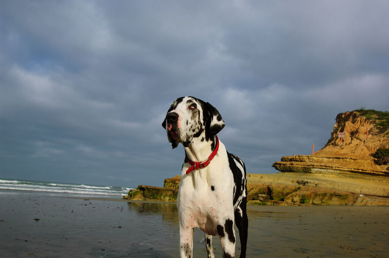 Dalmatian dog standing at beach