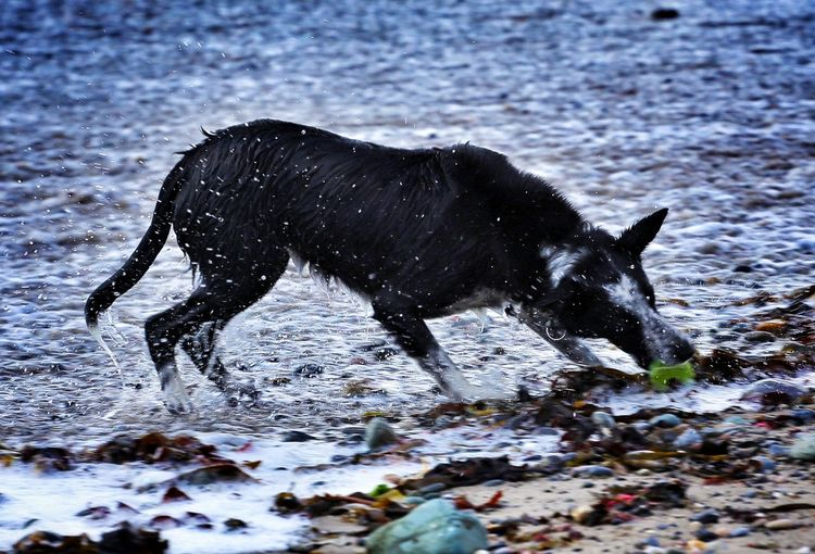 Wet dog carrying ball on water at beach