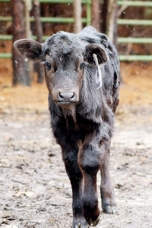 Stella the Calf Animal Themes Calf Cow Day Domestic Animals Farm Animal Farm Animal Close Up Field Focus On Foreground Livestock Looking At Camera Mammal Nature No People One Animal Outdoors Snow