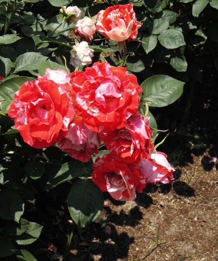 はな 花 華 バラ バラ 薔薇
