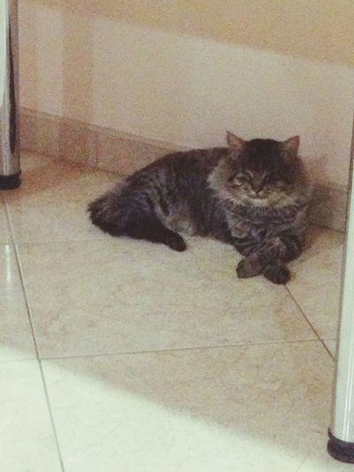 I Am The Boss :D ♥ Pet Cat Animal