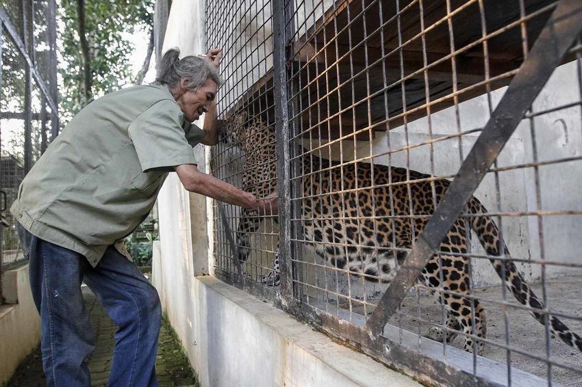 Caring Sumatran Tiger From Extinction JAKARTA, INDONESIA - JULY 28, 2016: Middle-aged man named Maman AS, he was even 64 years. One particular guard wildlife wild tigers, leopards and lions who was 30 years of diving profession for the love and affection of the main types of predatory big cat species. Among them are the Sumatran tiger (Panthera tigris sumatrae) named Coca and Cola, two male king jungle Sumatran forest is enlarging the area of the cage quarantine in the Ragunan Zoo (TMR) Jakarta, became one of the endemic species that is now in critical condition endangered , On the anniversary of Tiger World (World Tiger Day) WWF and Tiger Global Forum (GTF) released data that currently there are about 3,900 tigers in the wild throughout the world and about 300 tigers on the verge of extinction habitat originals on the island of Sumatra and parts scattered National Park area. Animal Dailylife Day Endemic Lifestyles Outdoors Panthera Tigris Sumatrae Photostory Pressphoto SaveAnimals SaveTigers Stockphoto SumatraTiger Tiger Tiger Handler Tigerday Wild Wildlife Wildlife & Nature