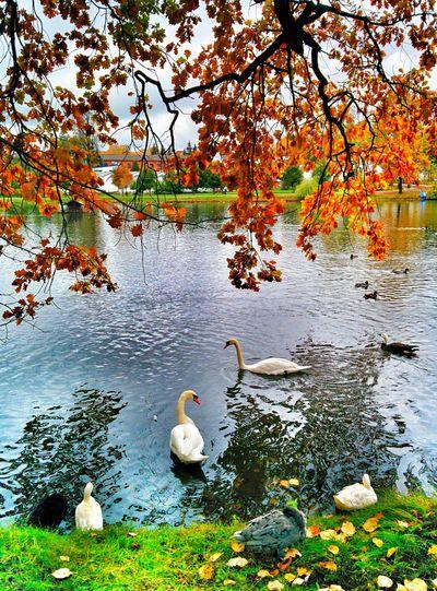 Осень 🍁🍂 дожди☔ лебедь  холод