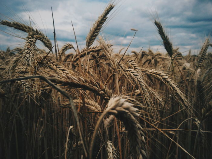 Agriculture Growth Field Nature Plant Outdoors Day No People Close-up VSCO Beauty In Nature EyeEm Best Shots Landscape EyeEm Best Edits Fields Of Gold