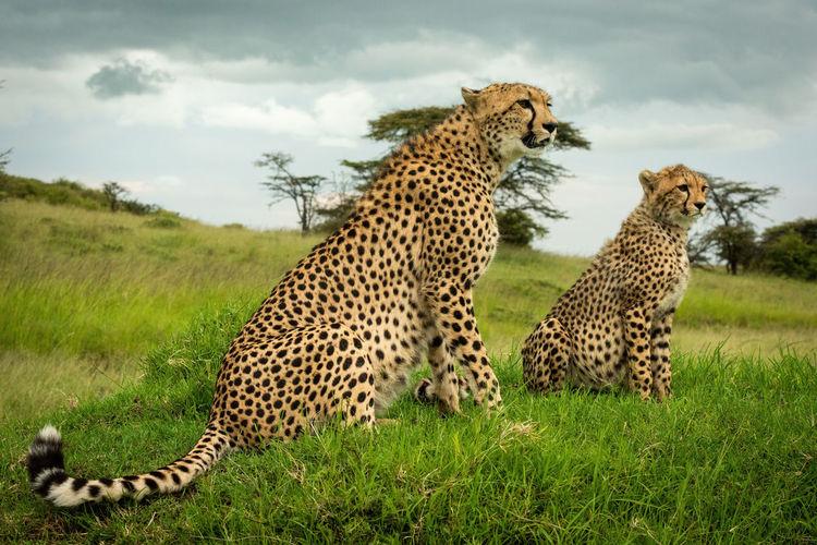 Cheetah sitting with cub on grassy mound