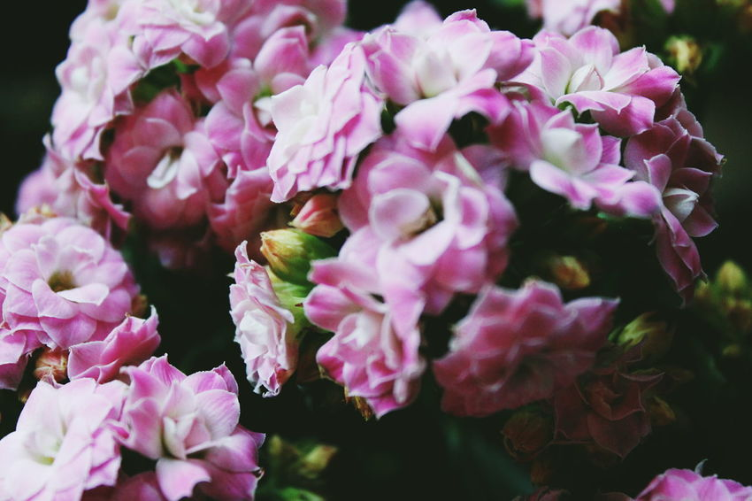 Backgrounds Beauty In Nature Blossom Botany Bunch Of Flowers Close-up Flower Flower Head Fragility Freshness Growth In Bloom Macro Macro Nature Nature Petal Pink Pink Color Plant Season  Selective Focus Springtime Vibrant Color VSCO Vscocam