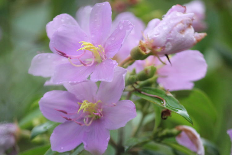 Close-up of wet pink flowering plant