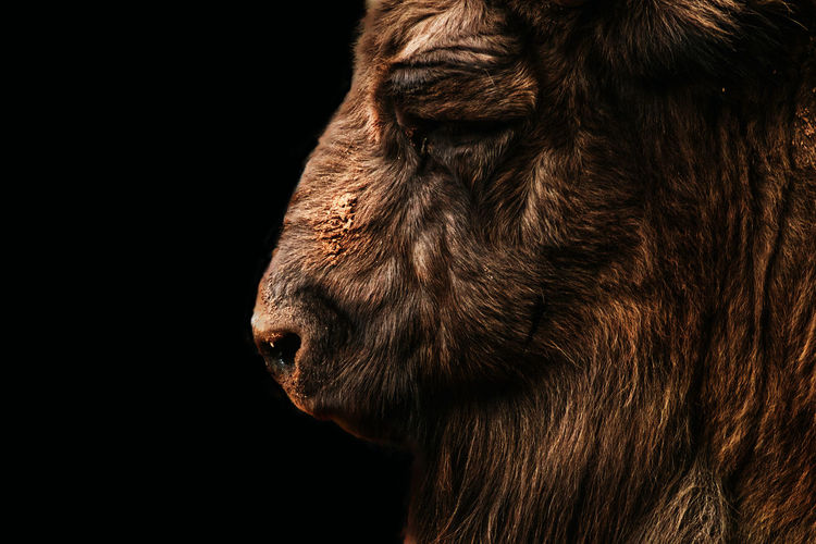 Close-up of a horse against black background