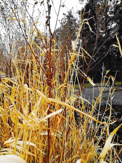 Remember Remember Summer  Last Summer Grass Yellow Yellow Grass Garden Garden Photography Decorative Grass Park My Park🌲🏞🏡🌾👍 Close-up Sky