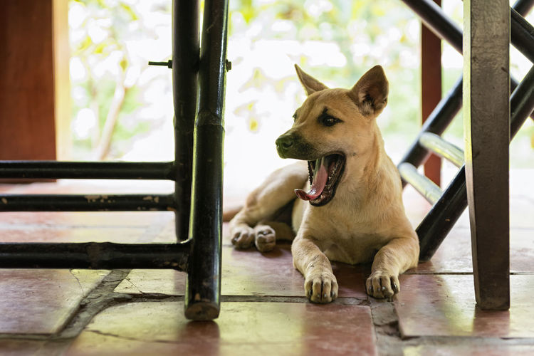 Yawning Dog Pet Mouth Open Animal Mouth Mouth Canine Dog Domestic One Animal Animal Puppy Mutt Mongrel Lazy Slow Dozy Sleepy Yawning Yawning Dog Lying Tired Under The Table Domestic Animals Pets