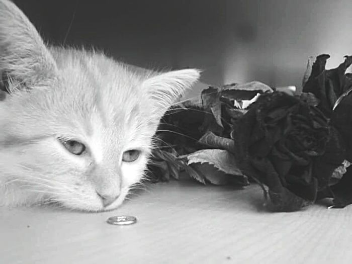 Cat for a rose... Omegatainment Monochromatic Schwarzweiß Black And White Cat Rosé Sadness