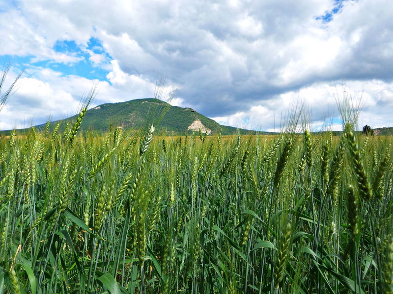 Barley field, stormy weather Agriculture Barley Beauty In Nature Cereal Plant Cloud - Sky Crop  Day Field Green Color Growth Landscape Nature No People Outdoors Pilis Pilisszántó Plant Plantation Rural Scene Scenics Sky Storm Cloud Tranquil Scene Tranquility