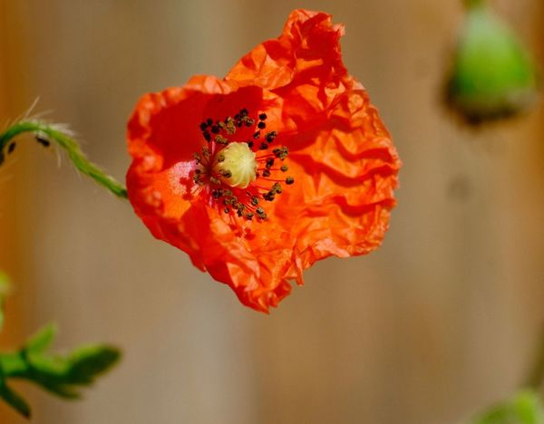 Poppy Flowers Mohnblüte Nature On Your Doorstep Beauty In Nature Flowering Plant Flower Close-up Fragility Vulnerability  Plant Petal Orange Flower Head Nature