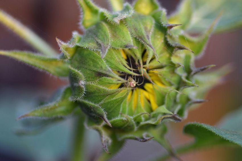 Spider & Unopened Sunflower Spider Sunflower