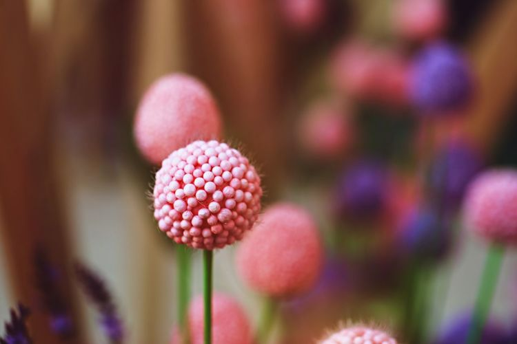 Flower Flowering Plant Plant Close-up Freshness Pink Color Purple Lychee Soft Focus Day Beauty In Nature Selective Focus Nature Decoration Copy Space