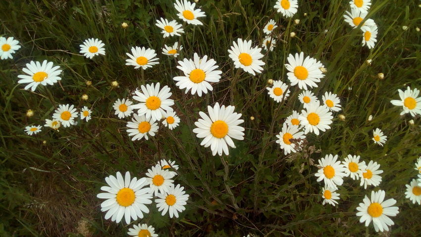 Beauty In Nature Close-up Daisy Day Field Flower Flower Head Flowerbed Flowering Plant Fragility Freshness Growth High Angle View Inflorescence Nature No People Outdoors Petal Plant Pollen Springtime Vulnerability  White Color Yellow