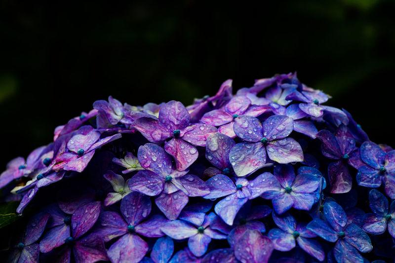 Close-up of raindrops on purple hydrangea