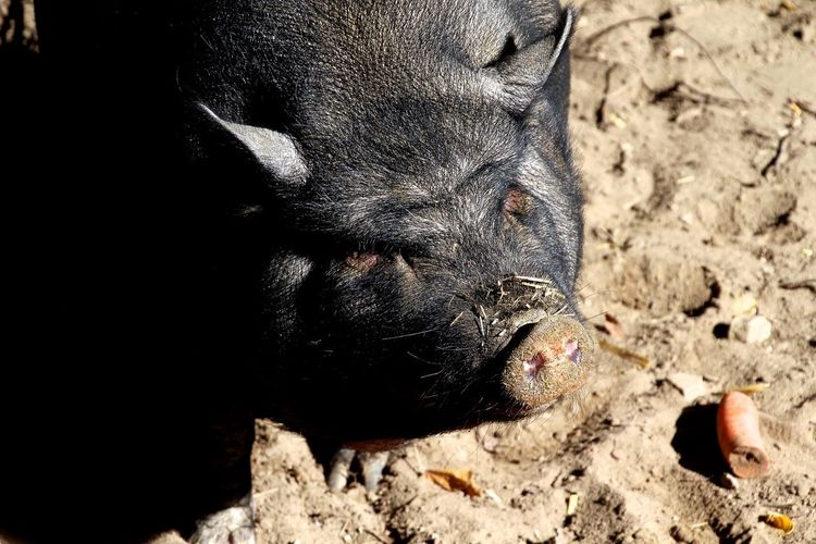 Hängebauchschwein Schwein Pork Animals EyeEm Best Shots Open Edit Eye4photography  EyeEm