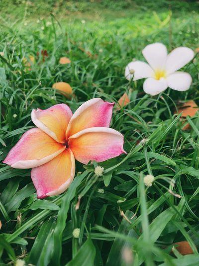 Close-up of frangipani on field