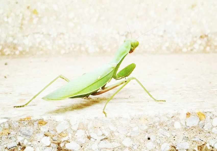 Grashopper Green Color Wildlife Freshness Moments Of My Life Outdoor Photography Macro Nature Small Animals Oneplustwophotography