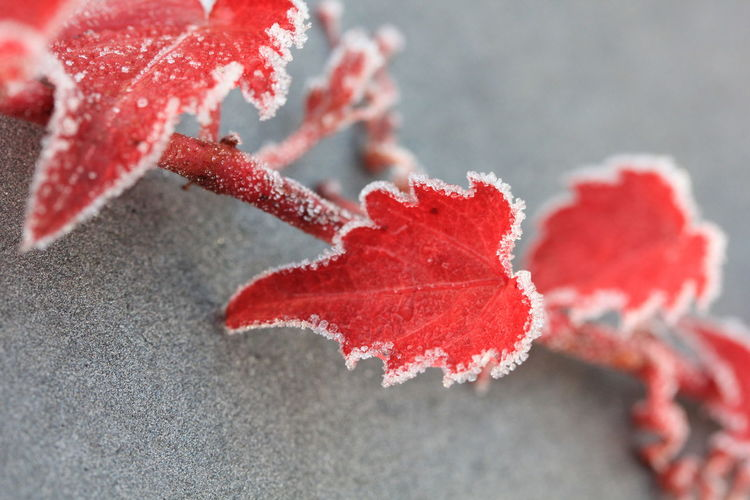 Close-up of red maple leaves during winter