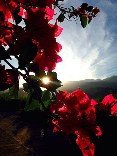 Flower Collection Naturelovers Sunrise Sunrise_sunsets_aroundworld Sunrise_Collection Bougainvillea