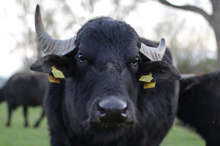 Animal Animal Themes Buffle Bull Chef Looking At Camera Nature Outdoors Vörie Wasserbüffel Weetzen