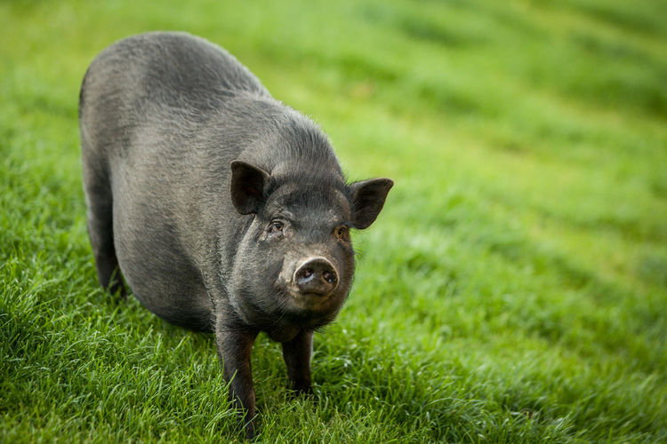 Copy Space Vietnamese Vietnamese Pig Animal Animal Themes Black Black Pig  Copyspace Domestic Animals Field Grass Green Color Livestock Looking At Camera Mammal No People One Animal Outdoors Pet Pig Pig Pot-bellied Pig Potbellied Potbelliedpig Potbelly Pig Snout