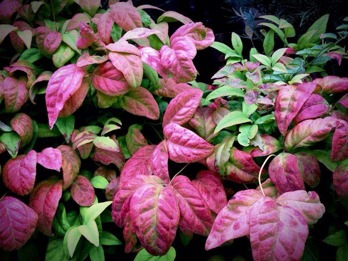 コリウス Coleus Labiatae シソ科 葉を観賞する草花 … The flowers which admire leaves Pink Color