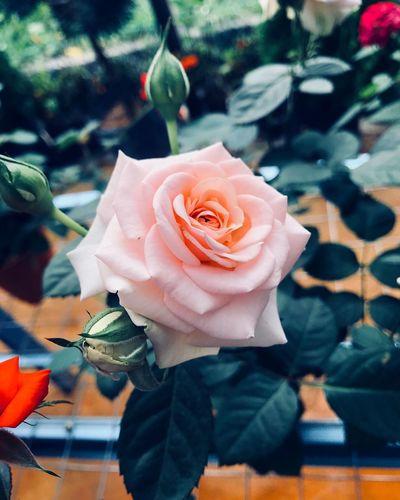 Flower Rosé Flowering Plant Plant Rose - Flower Flower Head EyeEmNewHere Inflorescence Fragility Petal Beauty In Nature Nature Flower Arrangement Growth Close-up Freshness