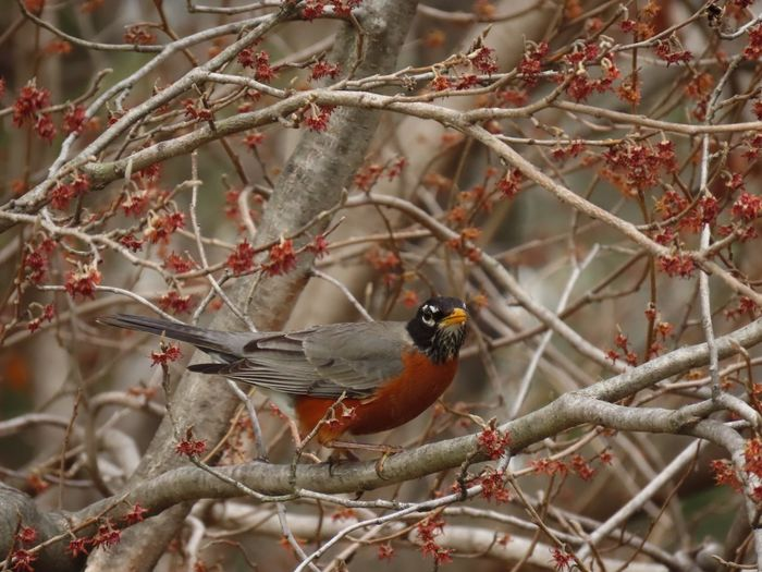 Bird in a tree robin redbreast perched on a bare tree branch side view Birds of EyeEm beauty in nature Animal Wildlife Animal Themes Close-up No People