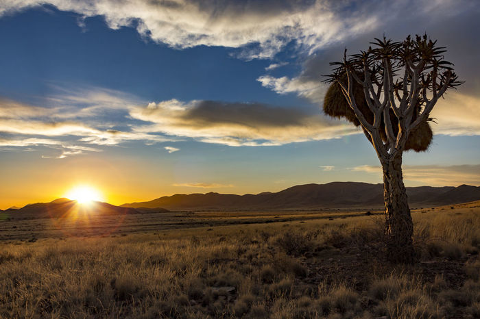 Sundown Namibia Helmeringhausen with quiver tree in the foreground Sunset_collection Beauty In Nature Cloud - Sky Field Grass Growth Horizon Over Land Landscape Nature No People Outdoors Plant Quivertree  Scenics Sky Sun Sundown Sunlight Sunset Tranquil Scene Tranquility Tree