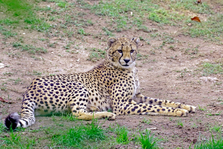 Cheetah relaxing on field
