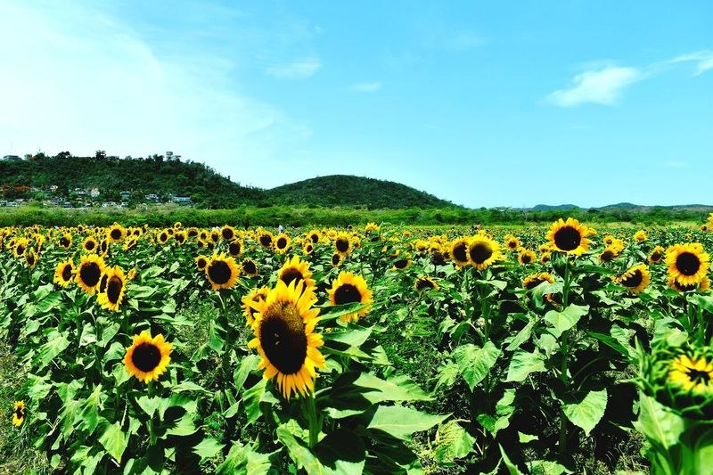 Facing the Sun ☀ Sunny Days . ☀ Sunny Day Eyeem2018 Flowers Flower Head Flower Sunflower Agriculture Field Sky Close-up Plant Cloud - Sky Farmland Cultivated Land Botany Plant Life Blossom Agricultural Field In Bloom