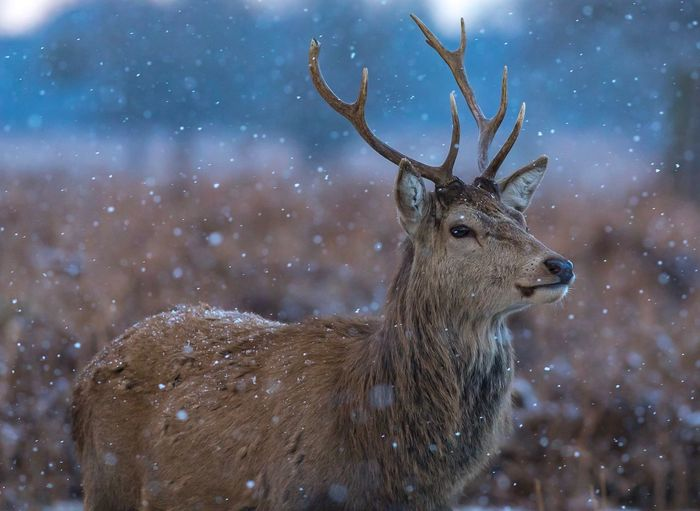 Close-up of deer on snow