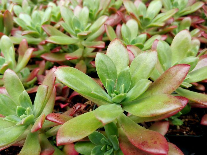 succulents as