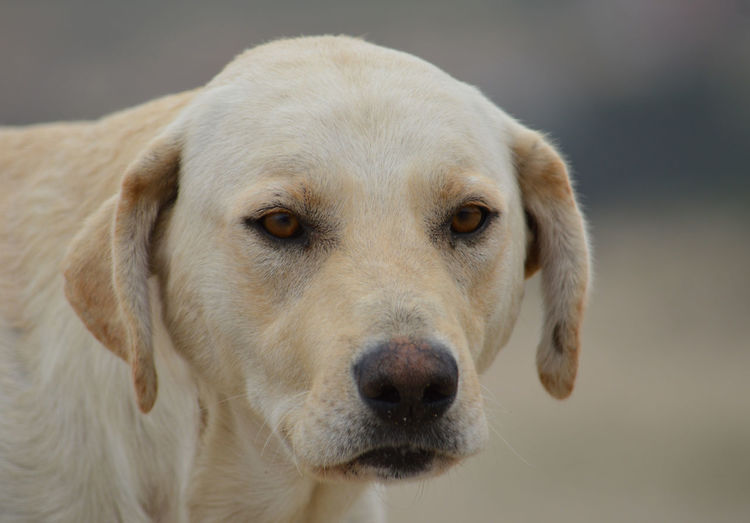 Animal Themes Close-up Day Dog Domestic Animals No People One Animal Outdoors Pets Yellow Dog