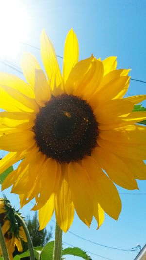 Sunshine and Beauty! Bees And Flowers Sunflower Moring