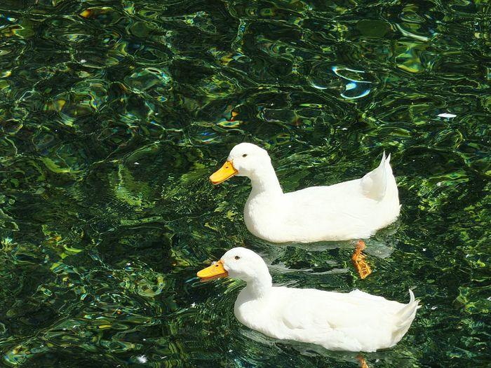EyeEm Best Shots Photography Hello World Open Edit EyeEm Taking Photos Nature Ducks Green White