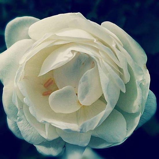Dogrose Phone Photo Nature Beautifully  Asuszenfone шиповник шиповникцветет красота