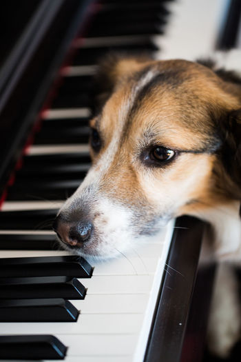 Close-up of dog by grand piano