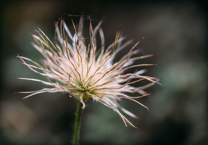 Copy Space Kuhschelle Beauty In Nature Close-up Dandelion Seed Faded Flower Flower Head Flowering Plant Focus On Foreground Fragility Freshness Growth Inflorescence Nature No People Outdoors Plant Plant Stem Selective Focus Spiky Text Space Tranquility Vulnerability  Wilted Plant