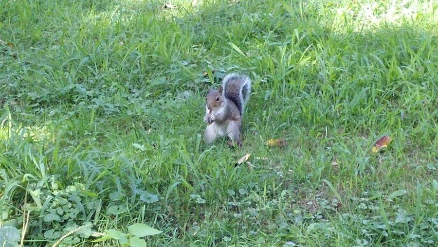 Squirrel in Central Park Animal Squirrel