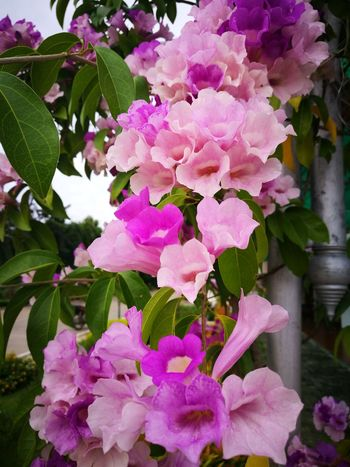 ดอกกระเทียม Flowers In My Garden Flashy . Neture Flowerphotography Flowerslovers Inthailand Nature Photography Flowerlovers FlowerPink