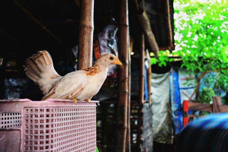 Swarf chicken in the farm