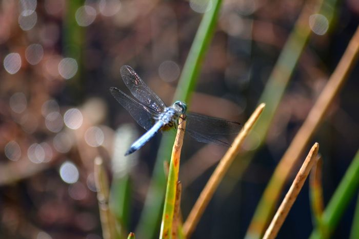 Blue Washer Dragonfly Close-up Florida Wildlife Dragonfly Dragonflies Insect Blue Dasher Blue Dragonfly Blue Dasher Dragonfly Florida Nature Nature EyeEm Selects Animal Wing Winged Spread Wings