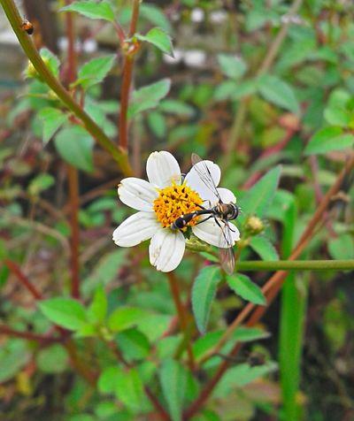 O trabalho na natureza...Perfeito Beauty In Nature Brasil ♥ Coisa De Deus Coisa De Deus Natureza Perfeita Flower Insetosdobrasil Peruíbe Polinization Wasp Macro Wasp Wasp Nest