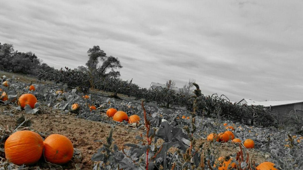 Pumpkin!Pumpkin! Pumpkins Farmporn On The Farm Pumpkin Farm Festive Season Taking Photos Mirrorless Every Picture Tells A Story