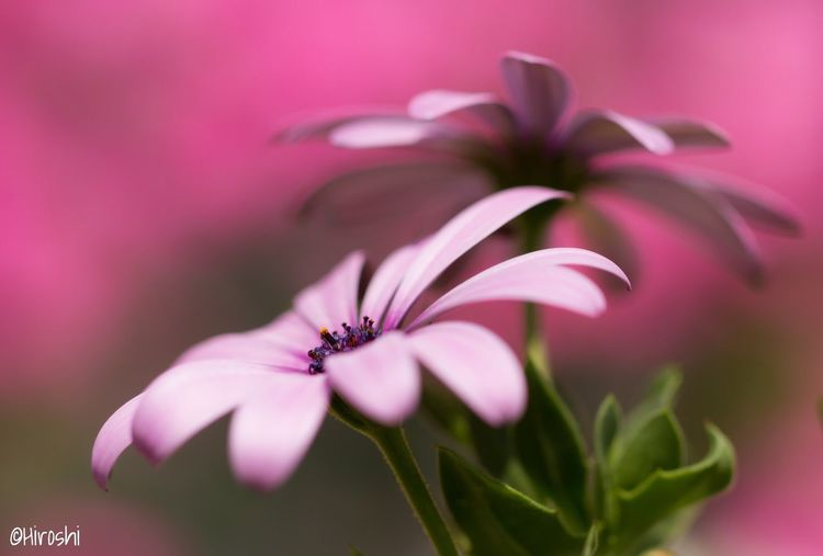 Osteospermum EyeEm Best Shots - Flowers EyeEm Flower Flower_Collection EyeEm Gallery Tadaa Community EyeEm Best Edits EyeEm Best Shots EyeEm Nature Lover Flowers, Nature And Beauty Best Shots Flowers